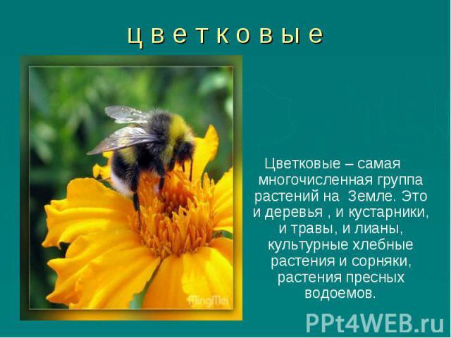 Цветковые – самая многочисленная группа растений на Земле. Это и деревья , и кустарники, и травы, и лианы, культурные хлебные растения и сорняки, растения пресных водоемов. Цветковые – самая многочисленная группа растений на Земле. Это и деревья , и…