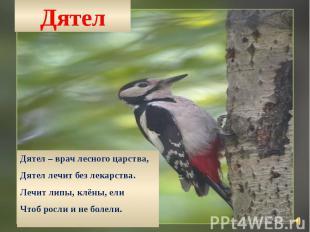 Дятел Дятел – врач лесного царства, Дятел лечит без лекарства. Лечит липы, клёны