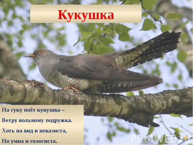 Кукушка На суку поёт кукушка – Ветру вольному подружка. Хоть на вид и неказиста, Но умна и голосиста.