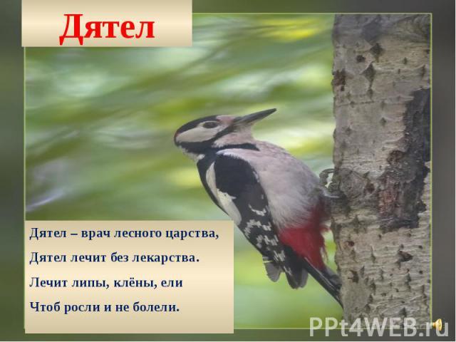 Дятел Дятел – врач лесного царства, Дятел лечит без лекарства. Лечит липы, клёны, ели Чтоб росли и не болели.