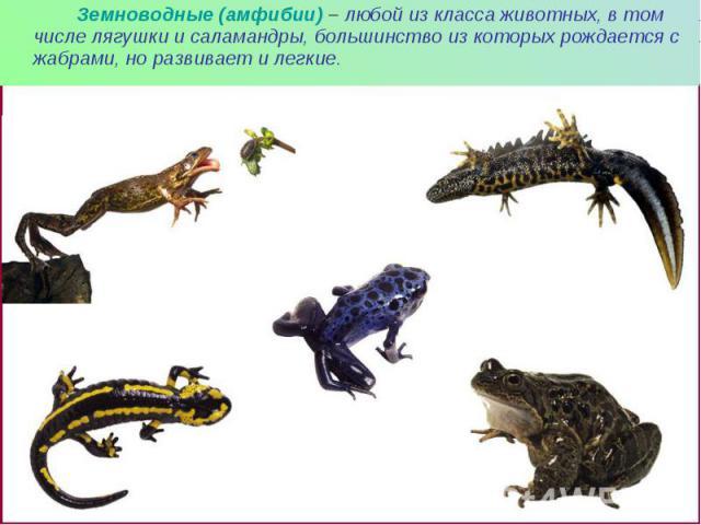 Земноводные (амфибии) – любой из класса животных, в том числе лягушки и саламандры, большинство из которых рождается с жабрами, но развивает и легкие. Земноводные (амфибии) – любой из класса животных, в том числе лягушки и саламандры, большинство из…