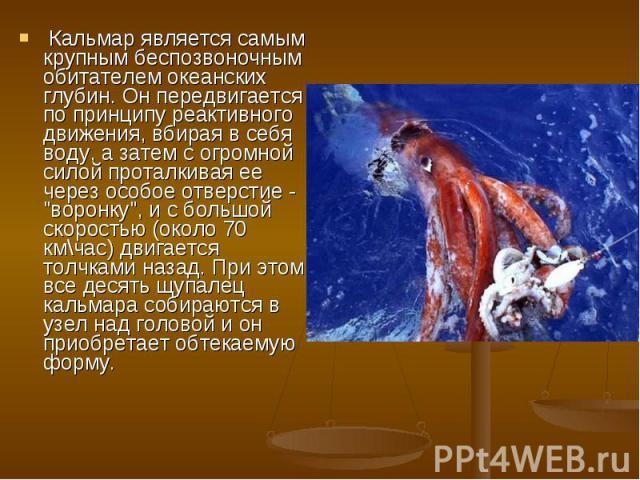 """Кальмар является самым крупным беспозвоночным обитателем океанских глубин. Он передвигается по принципу реактивного движения, вбирая в себя воду, а затем с огромной силой проталкивая ее через особое отверстие - """"воронку"""", и с большой скоро…"""