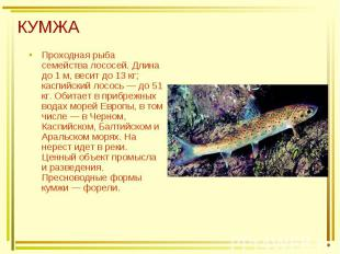 КУМЖА Проходная рыба семейства лососей. Длина до 1 м, весит до 13 кг; каспийский