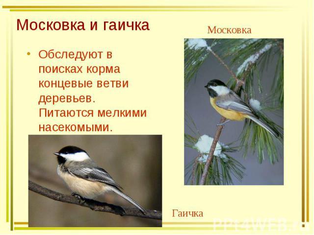 Московка и гаичка Обследуют в поисках корма концевые ветви деревьев. Питаются мелкими насекомыми.