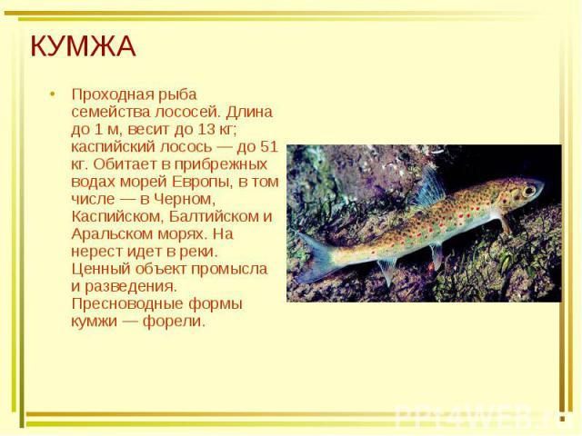 КУМЖА Проходная рыба семейства лососей. Длина до 1 м, весит до 13 кг; каспийский лосось — до 51 кг. Обитает в прибрежных водах морей Европы, в том числе — в Черном, Каспийском, Балтийском и Аральском морях. На нерест идет в реки. Ценный объект промы…