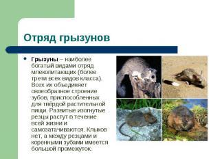 Грызуны – наиболее богатый видами отряд млекопитающих (более трети всех видов кл
