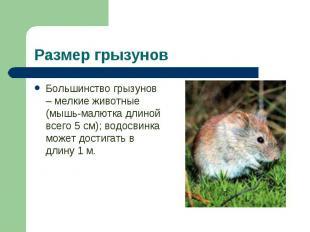 Большинство грызунов – мелкие животные (мышь-малютка длиной всего 5 см); водосви