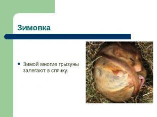 Зимой многие грызуны залегают в спячку. Зимой многие грызуны залегают в спячку.