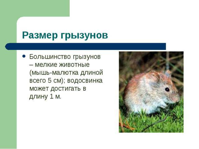 Большинство грызунов – мелкие животные (мышь-малютка длиной всего 5 см); водосвинка может достигать в длину 1 м. Большинство грызунов – мелкие животные (мышь-малютка длиной всего 5 см); водосвинка может достигать в длину 1 м.