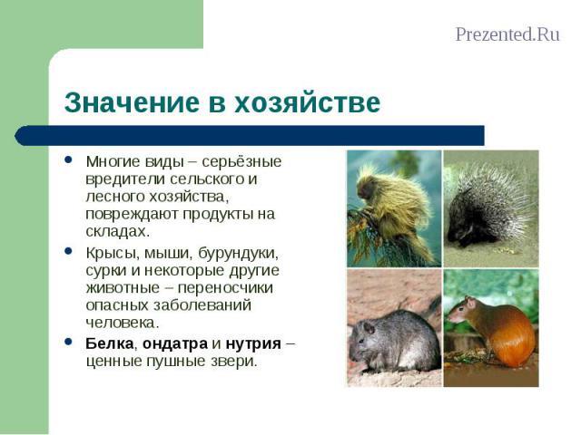 Многие виды – серьёзные вредители сельского и лесного хозяйства, повреждают продукты на складах. Многие виды – серьёзные вредители сельского и лесного хозяйства, повреждают продукты на складах. Крысы, мыши, бурундуки, сурки и некоторые другие животн…