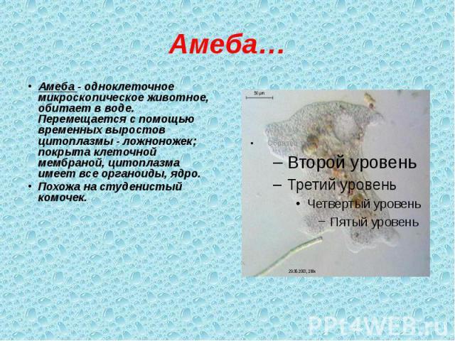 Амеба… Амеба - одноклеточное микроскопическое животное, обитает в воде. Перемещается с помощью временных выростов цитоплазмы - ложноножек; покрыта клеточной мембраной, цитоплазма имеет все органоиды, ядро. Похожа на студенистый комочек.