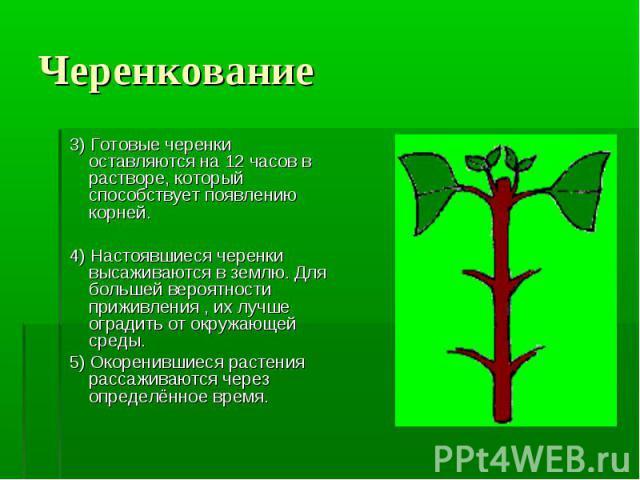 3) Готовые черенки оставляются на 12 часов в растворе, который способствует появлению корней. 3) Готовые черенки оставляются на 12 часов в растворе, который способствует появлению корней. 4) Настоявшиеся черенки высаживаются в землю. Для большей вер…