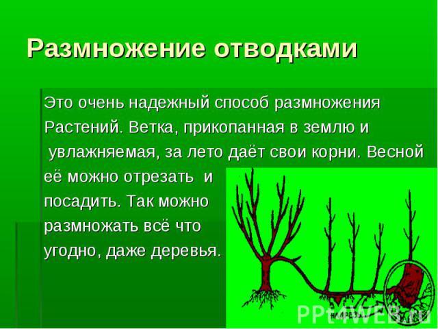 Это очень надежный способ размножения Это очень надежный способ размножения Растений. Ветка, прикопанная в землю и увлажняемая, за лето даёт свои корни. Весной её можно отрезать и посадить. Так можно размножать всё что угодно, даже деревья.