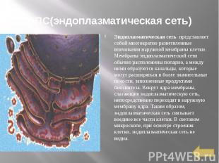 ЭПС(эндоплазматическая сеть) Эндоплазматическая сеть представляет собой мн
