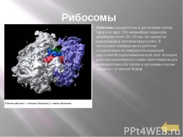 Рибосомы Рибосомы находятся как в цитоплазме клетки, так и в ее ядре. Это мельчайшие зернышки диаметром около 15—20 им, что делает их невидимыми в световом микроскопе. В цитоплазме основная масса рибосом сосредоточена на поверхности канальцев шерохо…