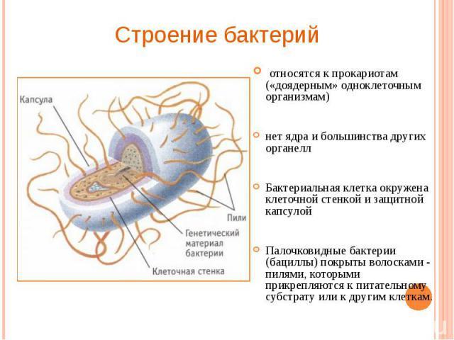 относятся к прокариотам («доядерным» одноклеточным организмам) относятся к прокариотам («доядерным» одноклеточным организмам) нет ядра и большинства других органелл Бактериальная клетка окружена клеточной стенкой и защитной капсулой Палочковидные ба…
