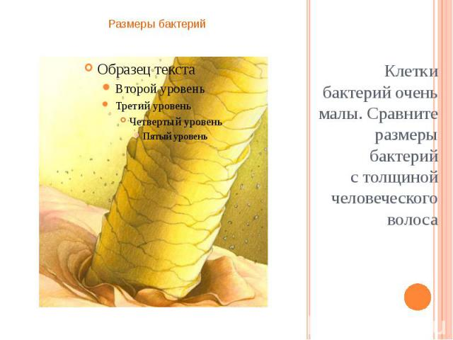 Клетки бактерий очень малы. Сравните размеры бактерий столщиной человеческого волоса Клетки бактерий очень малы. Сравните размеры бактерий столщиной человеческого волоса