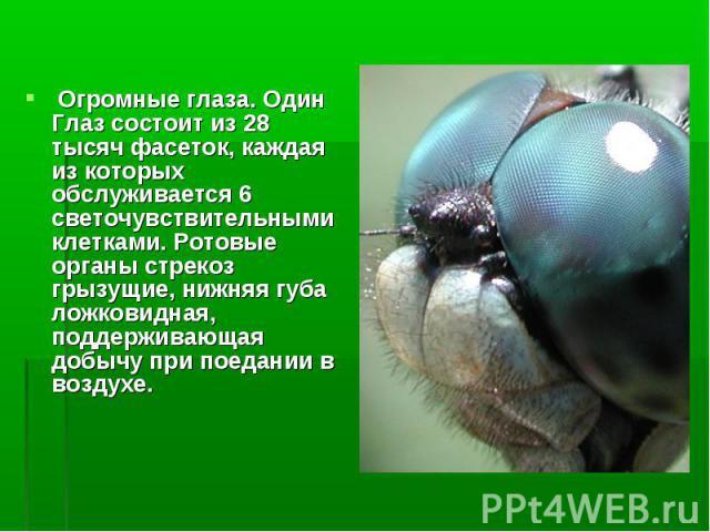 Огромные глаза. Один Глаз состоит из 28 тысяч фасеток, каждая из которых обслуживается 6 светочувствительными клетками. Ротовые органы стрекоз грызущие, нижняя губа ложковидная, поддерживающая добычу при поедании в воздухе. Огромные глаза. Один Глаз…