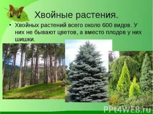Хвойных растений всего около 600 видов. У них не бывают цветов, а вместо плодов