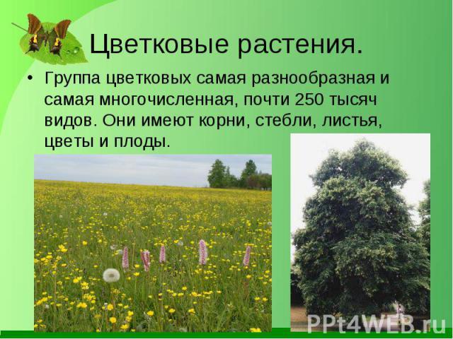 Группа цветковых самая разнообразная и самая многочисленная, почти 250 тысяч видов. Они имеют корни, стебли, листья, цветы и плоды. Группа цветковых самая разнообразная и самая многочисленная, почти 250 тысяч видов. Они имеют корни, стебли, листья, …