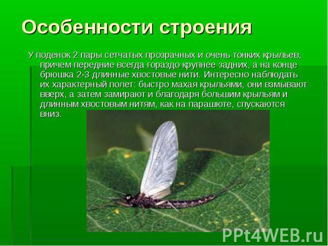 У поденок 2 пары сетчатых прозрачных и очень тонких крыльев, причем передние всегда гораздо крупнее задних, а на конце брюшка 2-3 длинные хвостовые нити. Интересно наблюдать их характерный полет: быстро махая крыльями, они взмывают вверх, а затем за…