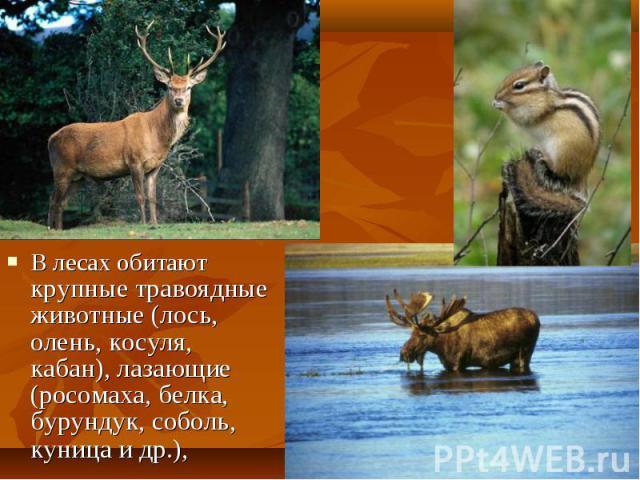 В лесах обитают крупные травоядные животные (лось, олень, косуля, кабан), лазающие (росомаха, белка, бурундук, соболь, куница и др.), В лесах обитают крупные травоядные животные (лось, олень, косуля, кабан), лазающие (росомаха, белка, бурундук, собо…