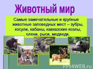 Самые замечательные и крупные животные заповедных мест – зубры, косули, кабаны,