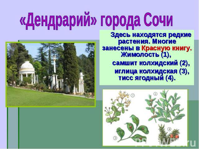 Здесь находятся редкие растения. Многие занесены в Красную книгу. Жимолость (1), Здесь находятся редкие растения. Многие занесены в Красную книгу. Жимолость (1), самшит колхидский (2), иглица колхидская (3), тисс ягодный (4).