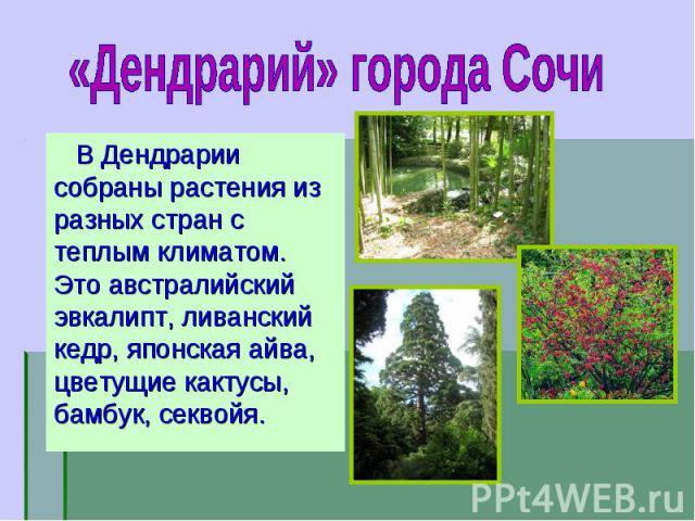 В Дендрарии собраны растения из разных стран с теплым климатом. Это австралийский эвкалипт, ливанский кедр, японская айва, цветущие кактусы, бамбук, секвойя. В Дендрарии собраны растения из разных стран с теплым климатом. Это австралийский эвкалипт,…