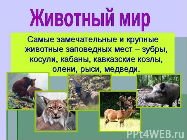 Самые замечательные и крупные животные заповедных мест – зубры, косули, кабаны, кавказские козлы, олени, рыси, медведи. Самые замечательные и крупные животные заповедных мест – зубры, косули, кабаны, кавказские козлы, олени, рыси, медведи.