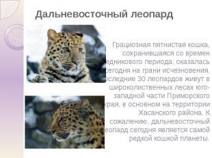 Дальневосточный леопард Грациозная пятнистая кошка, сохранившаяся со времен ледн