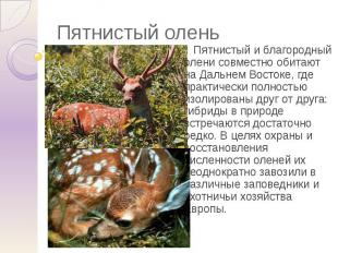 Пятнистый олень Пятнистый и благородный олени совместно обитают на Дальнем Восто