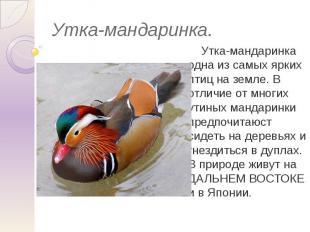 Утка-мандаринка. Утка-мандаринка одна из самых ярких птиц на земле. В отличие от