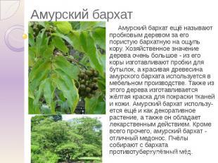 Амурский бархат Амурский бархат ещё называют пробковым деревом за его пористую б