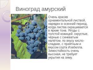 Виноград амурский Очень красив орнаментальной листвой, наряден в осенний период,