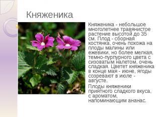 Княженика Княженика - небольшое многолетнее травянистое растение высотой до 35 с