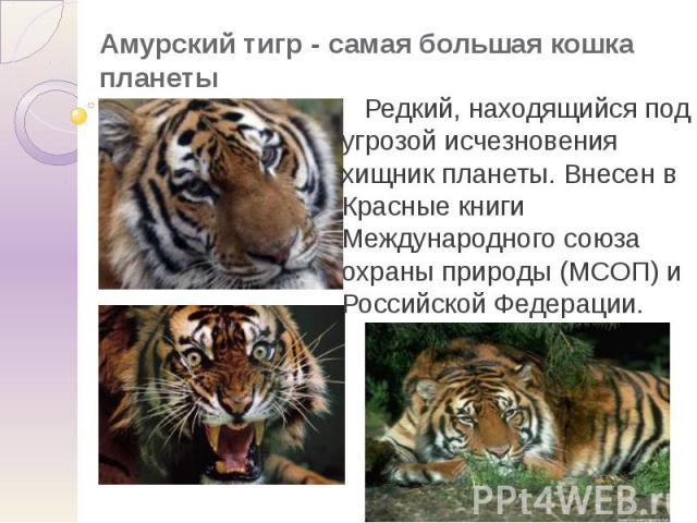 Амурский тигр - самая большая кошка планеты Редкий, находящийся под угрозой исчезновения хищник планеты. Внесен в Красные книги Международного союза охраны природы (МСОП) и Российской Федерации.