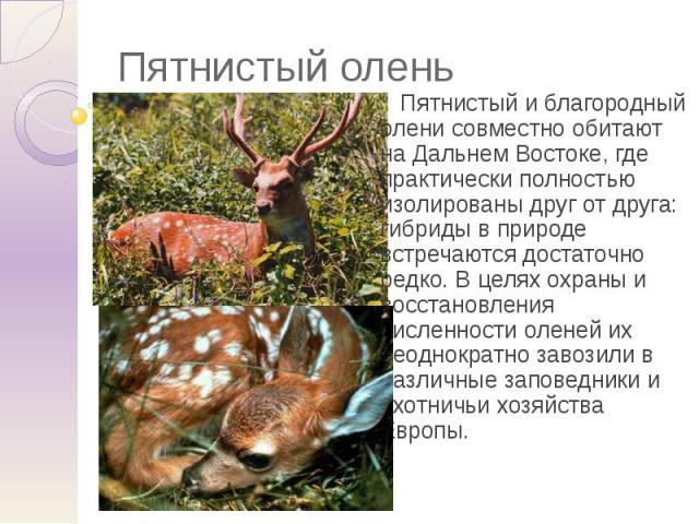 Пятнистый олень Пятнистый и благородный олени совместно обитают на Дальнем Востоке, где практически полностью изолированы друг от друга: гибриды в природе встречаются достаточно редко. В целях охраны и восстановления численности оленей их неоднократ…