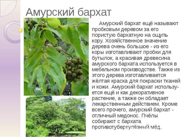 Амурский бархат Амурский бархат ещё называют пробковым деревом за его пористую бархатную на ощупь кору. Хозяйственное значение дерева очень большое - из его коры изготавливают пробки для бутылок, а красивая древесина амурского бархата используется в…