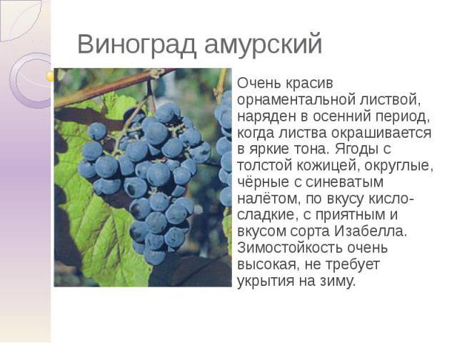 Виноград амурский Очень красив орнаментальной листвой, наряден в осенний период, когда листва окрашивается в яркие тона. Ягоды с толстой кожицей, округлые, чёрные с синеватым налётом, по вкусу кисло-сладкие, с приятным и вкусом сорта Изабелла. Зимос…