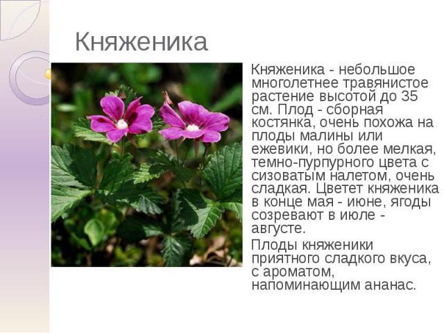 Княженика Княженика - небольшое многолетнее травянистое растение высотой до 35 см. Плод - сборная костянка, очень похожа на плоды малины или ежевики, но более мелкая, темно-пурпурного цвета с сизоватым налетом, очень сладкая. Цветет княженика в конц…