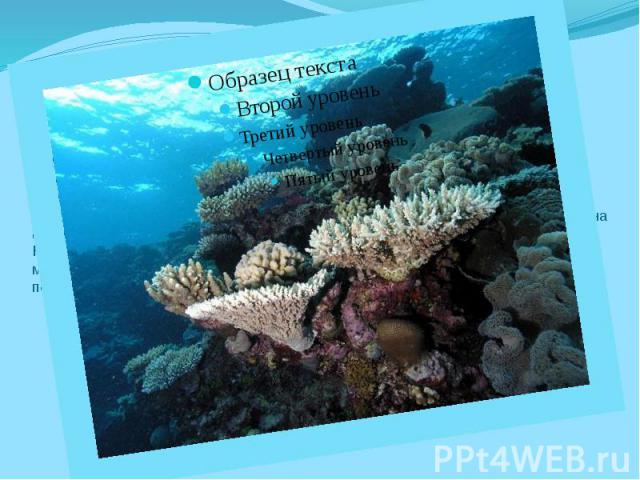 История происхождения Современная история развития Большого Кораллового рифа длиться около восьми тысяч лет. Старый фундамент по-прежнему заполняется новыми пластами. Барьерный риф сформировался вдоль шельфовой устойчивой платформы, где незначительн…