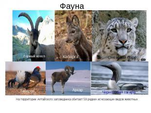 На территории Алтайского заповедника обитает 59 редких исчезающих видов животных