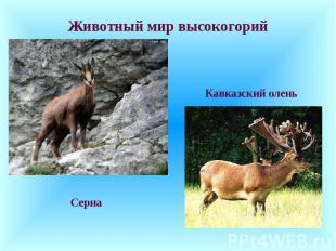Животный мир высокогорий Серна