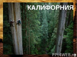 Стволы самого высокого дерева на Земле достигают в высоту 100 метров и более, а