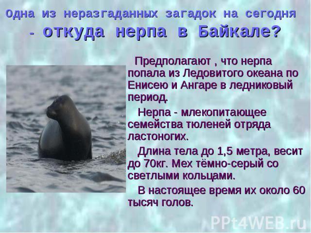 Одна из неразгаданных загадок на сегодня - откуда нерпа в Байкале? Предполагают , что нерпа попала из Ледовитого океана по Енисею и Ангаре в ледниковый период. Нерпа - млекопитающее семейства тюленей отряда ластоногих. Длина тела до 1,5 метра, весит…