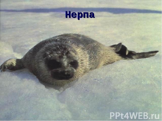 Нерпа