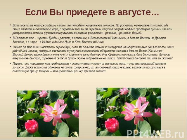 Если Вы приедете в августе… Если посетите нашу республику летом, то попадете на цветение лотосов. На раскатах – уникальных местах, где Волга впадает в Каспийское море, с середины июля и до середины августа посреди водных просторов буйным цветом расп…