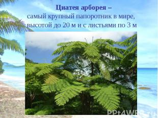 Циатея арборея – Циатея арборея – самый крупный папоротник в мире, высотой до 20