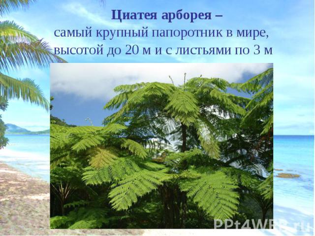 Циатея арборея – Циатея арборея – самый крупный папоротник в мире, высотой до 20 м и с листьями по 3 м